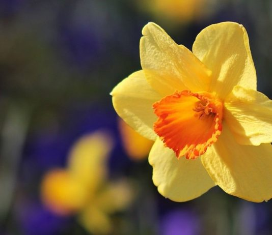Photograph of a yellow daffodil flower. Brits wear daffodils in March to show that they support cancer research and care.