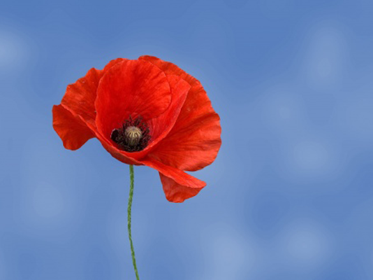 Etiquette to wearing-a-poppy-for-Remebrance-Day