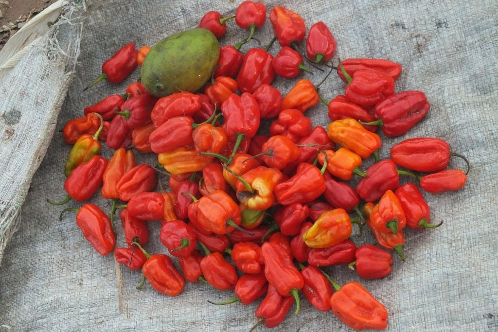 Peri peri peppers. Photo credit: Orrling